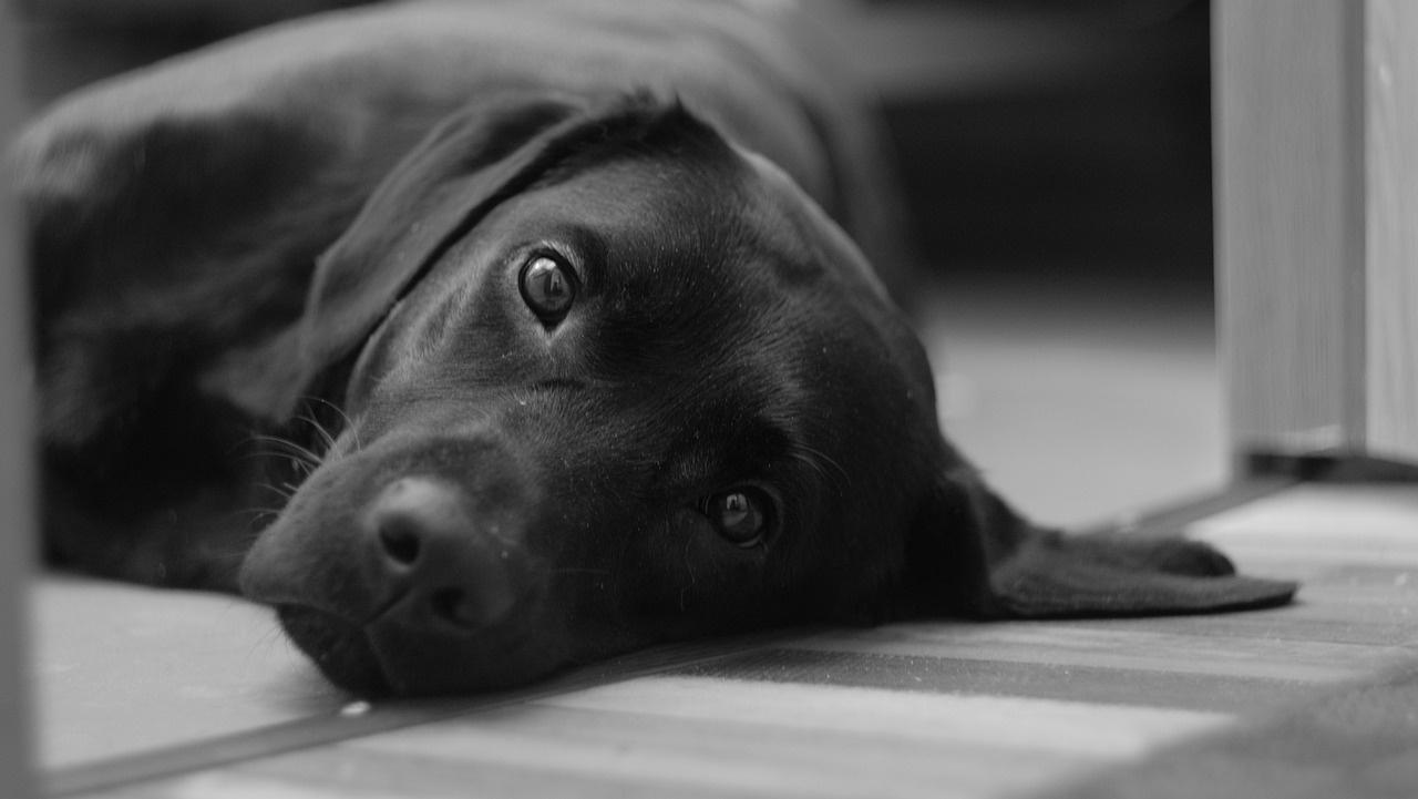 Il video del labrador