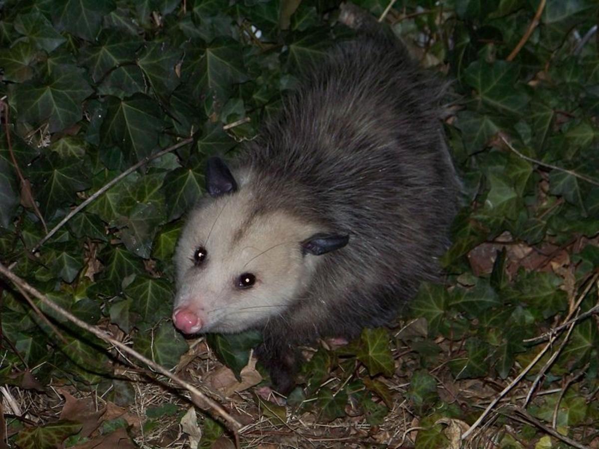 Ragazzo salva opossum