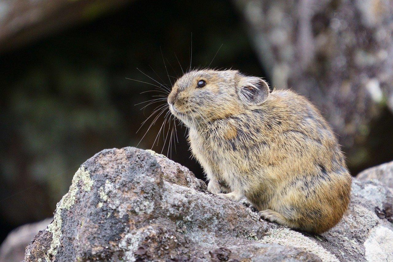 pika-animale