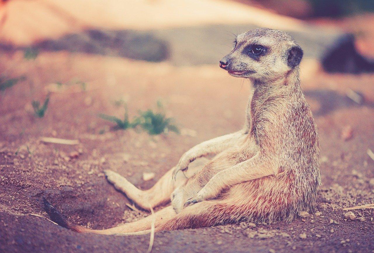 surikato-animale