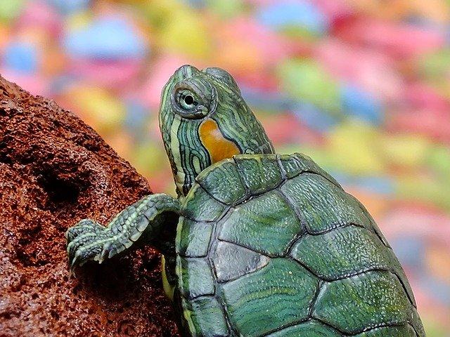 tartaruga d'acqua dolce a casa