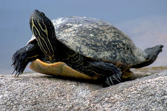 tartaruga d'acqua dolce cure