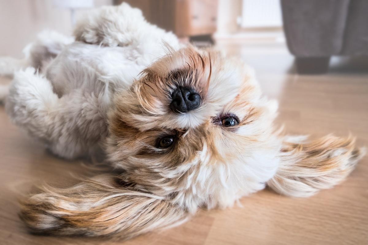 A chi viene affidato il cane in caso di separazione