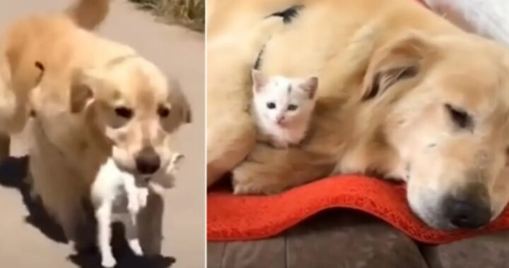 Golden Retriever trova un gattino bisognoso e lo porta a casa sua