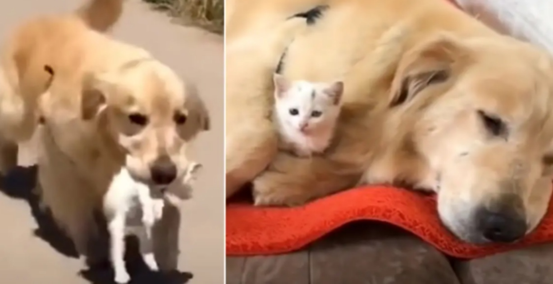 Golden Retriever salva gattino