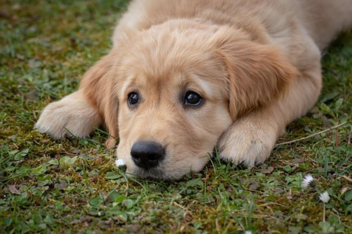 Infezione da anchilostomi nei cani