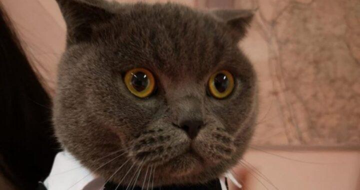 Liau, il gatto con lo smoking