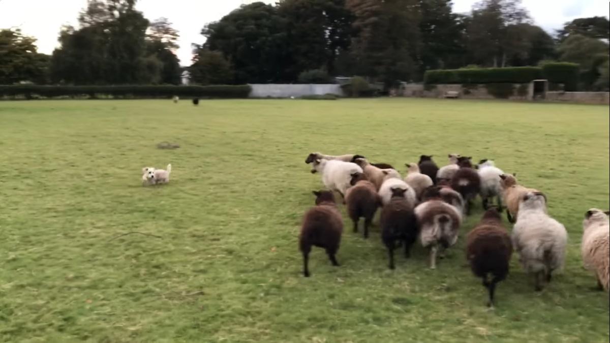 Nelson, il cane da pastore