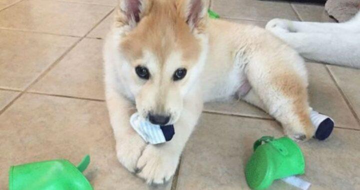 L'adozione di Nubz, un cagnolino che ha perso le zampe posteriori