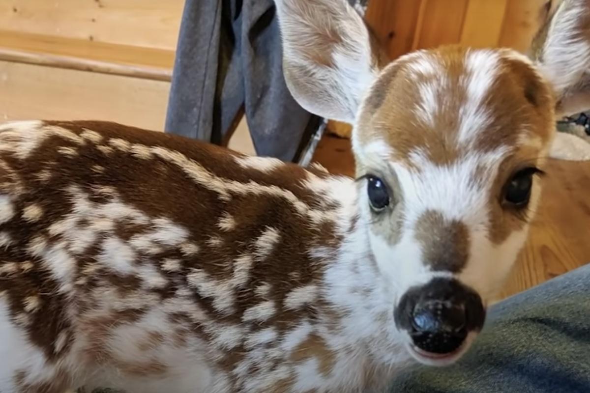 La storia del piccolo cervo Scout