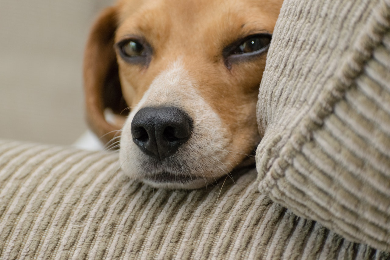 beagles-cani