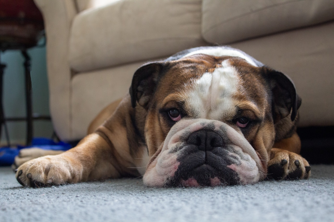 cane-sul-tappeto