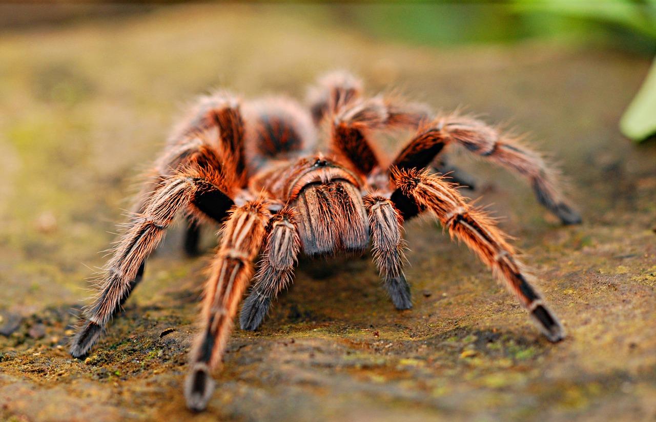 Esemplare di ragno