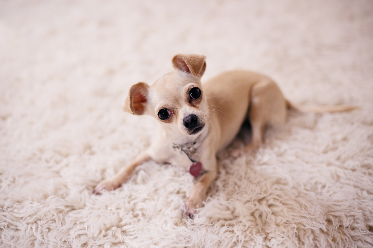 chihuahua-razza-cane