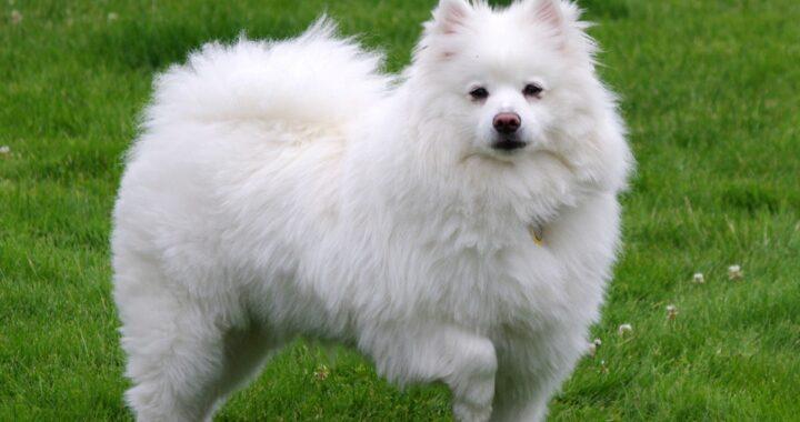 cane eschimese americano