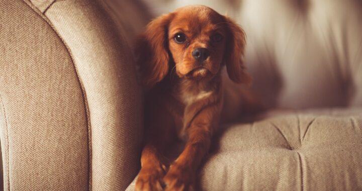 come pulire la pipì del cane dal divano consigli