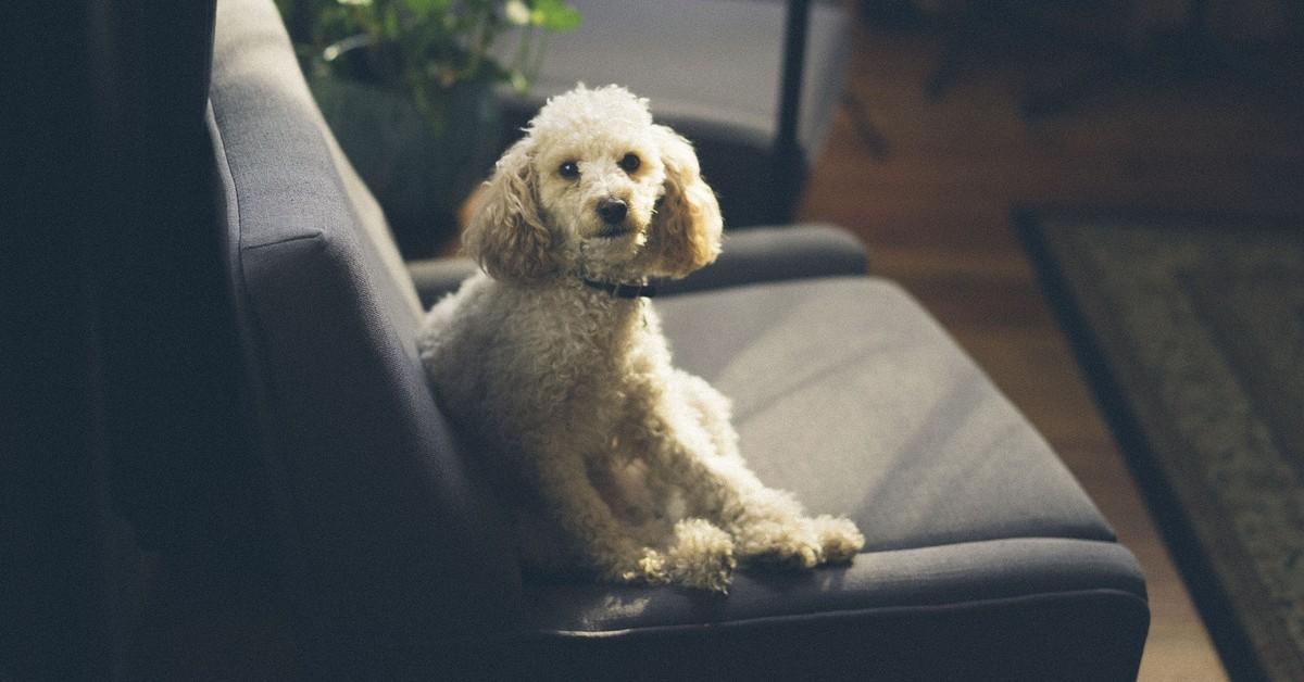 come pulire la pipì del cane dal divano