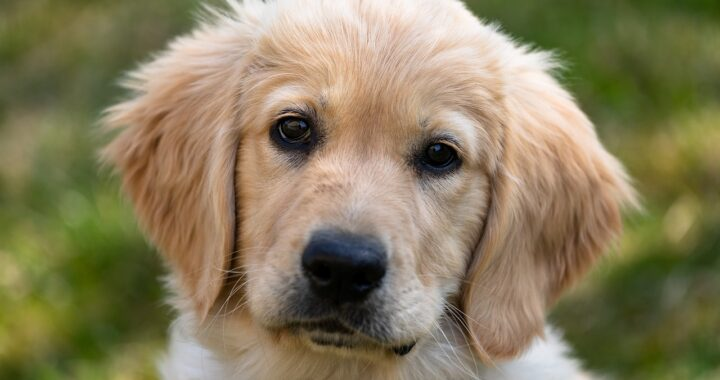 Cane di razza Golden Retriever