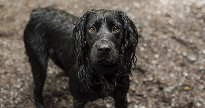Cocker Spaniel nero