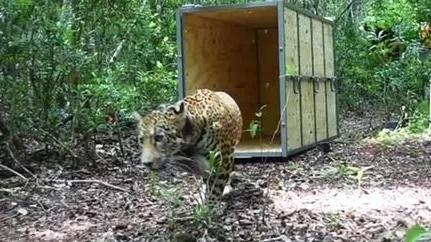 Covi il giaguaro
