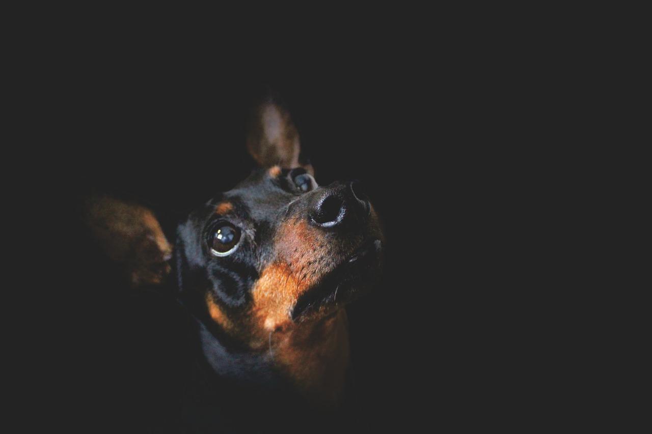 Cane di razza Pinscher
