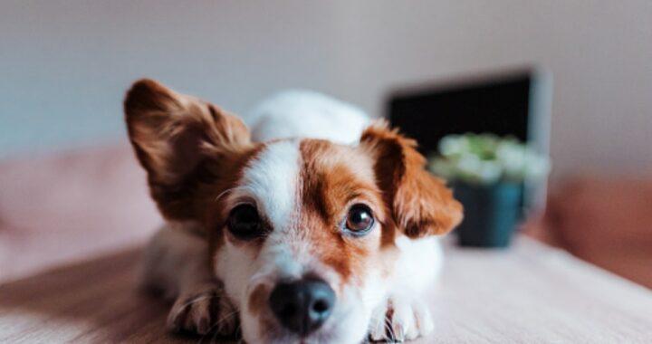 Noduli nei cani: tutto ciò da sapere