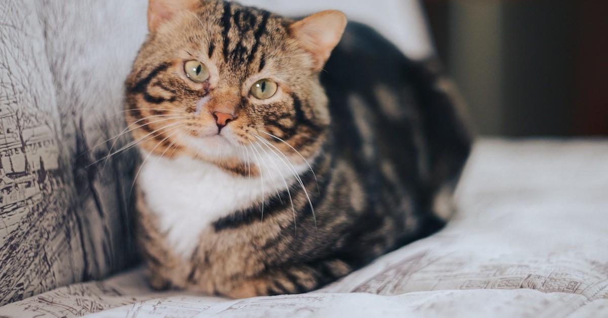 Come pulire la pipì del gatto dal divano