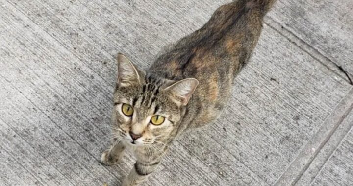 Volontaria salva Free, una gattina incinta di New York