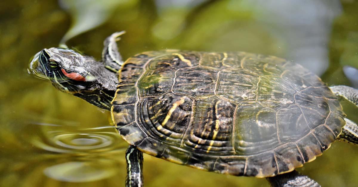 tartaruga maschio o femmina