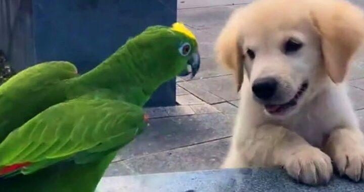Un cucciolo di Golden Retriever incontra un pappagallo per la prima volta (VIDEO)