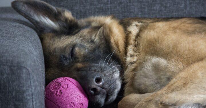 Donna guarda il video delle telecamere di sicurezza e scopre cosa faceva il suo cucciolo di pastore tedesco nella sua assenza