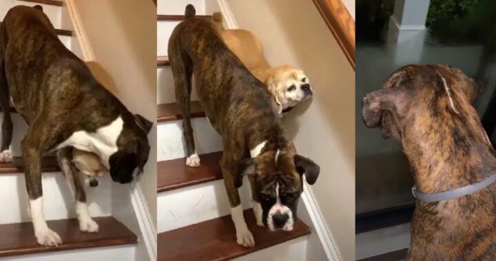 """""""Voglio che tutti voi vediate quello che succede, quando il nostro cagnolino cieco vuole scendere le scale"""": il video"""