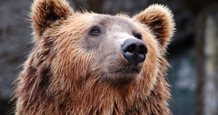 Liberare gli orsi in Trentino