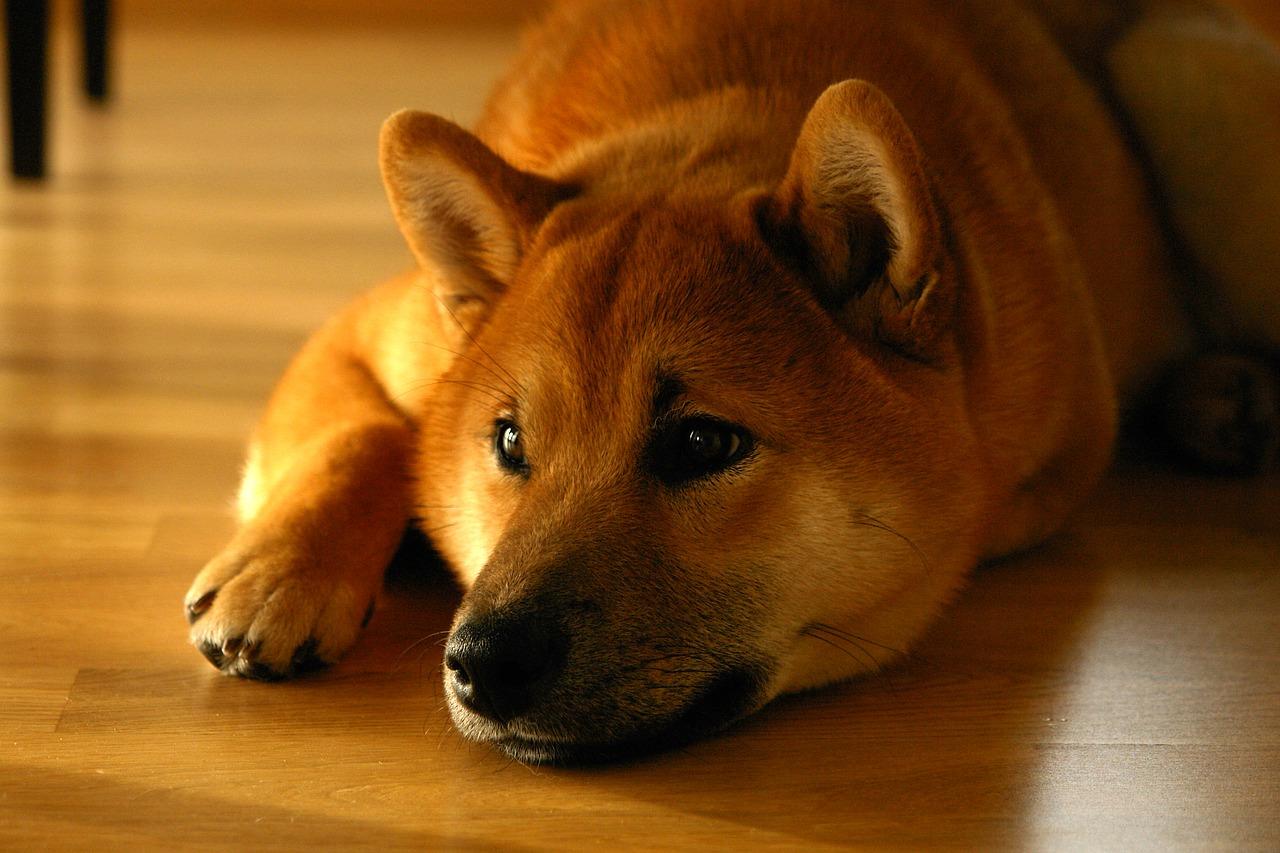 Shiba Inu sul pavimento di casa