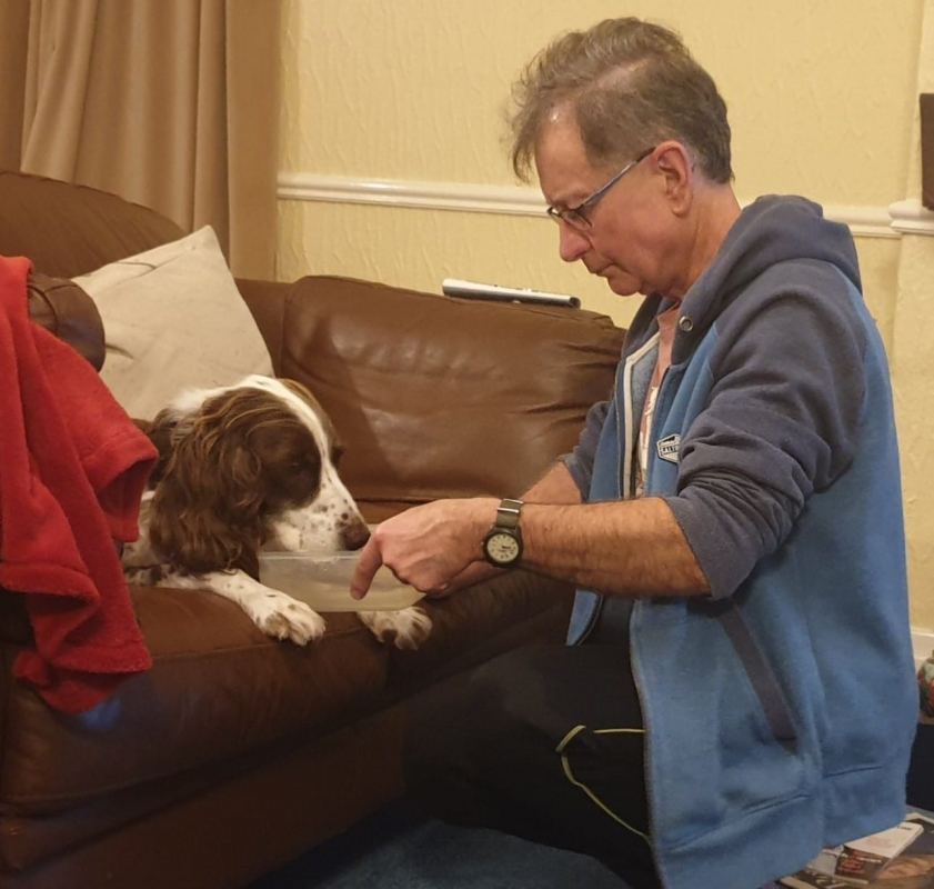 Springer spaniel malato accudito dal padre