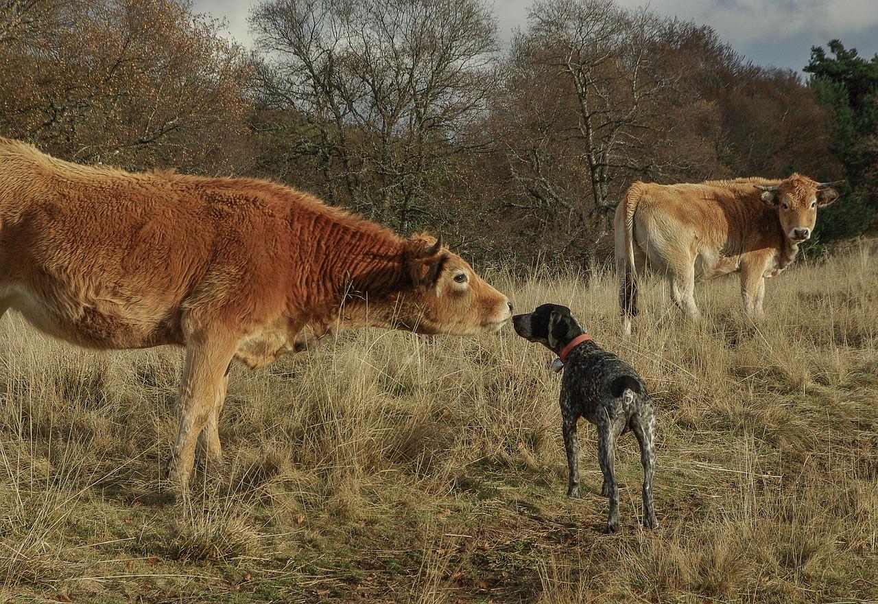 cane nascosto tra le mucche