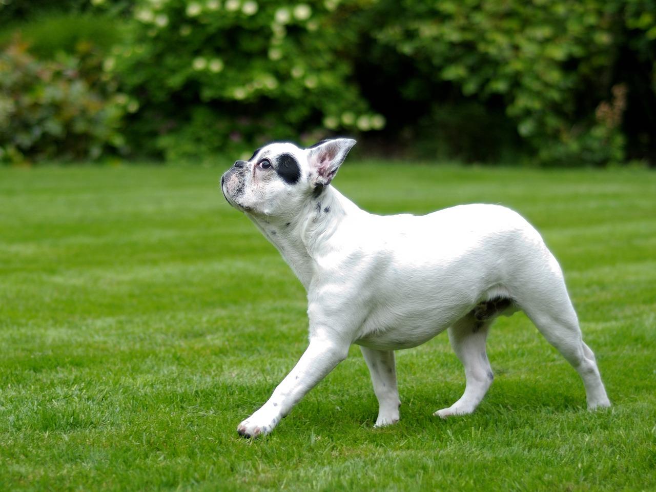 Bulldog vuole andare al parco