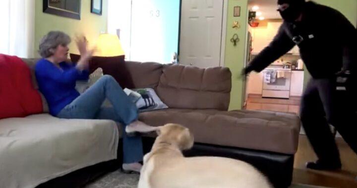 (VIDEO) Le reazioni di 4 cani, quando un malvivente entra nelle loro abitazioni
