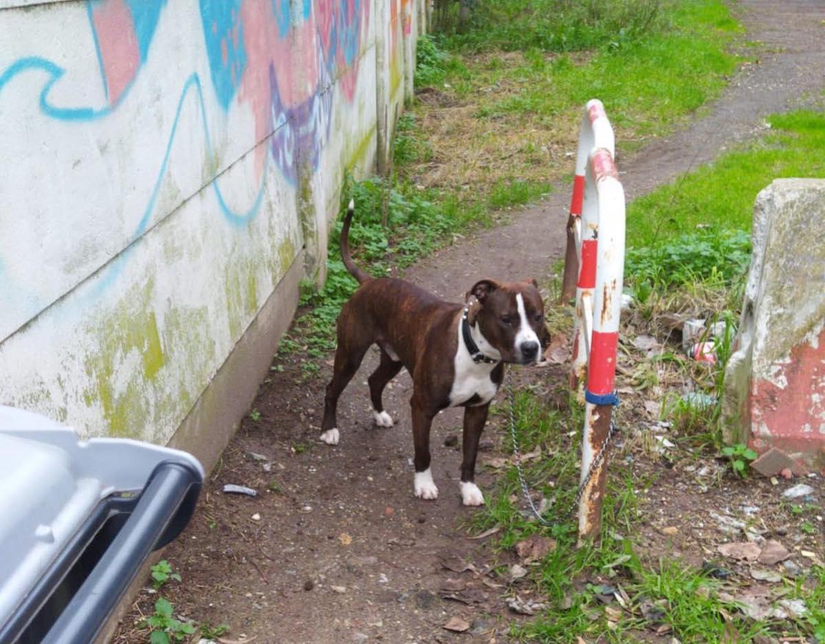Legato cane ad un palo