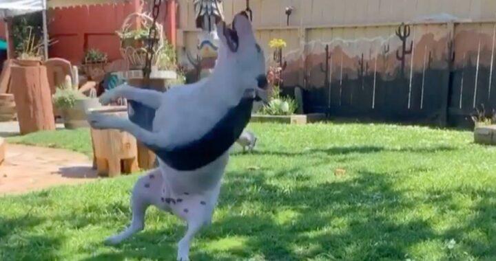 cane di razza bull terrier