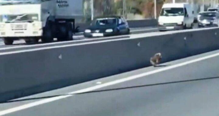 Cucciolo terrorizzato in autostrada, il video del rocambolesco salvataggio finisce in rete
