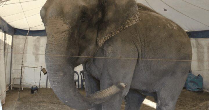 Elefantessa Dumba