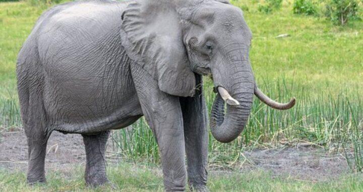 Elefante rimasto vittima di un terribile crimine: gli abitanti gli hanno dato fuoco
