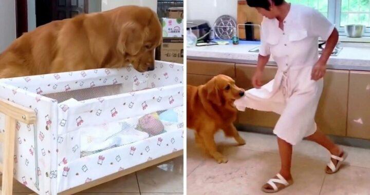 Il Golden Retriever guarda nella culla e corre subito a chiamare la sua mamma