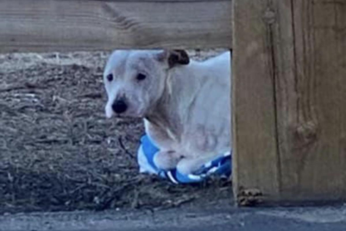 Lincoln, il cagnolone salvato poco prima di morire di freddo