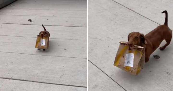 Oliver, il cagnolino che porta cibo a domicilio alla sua mamma