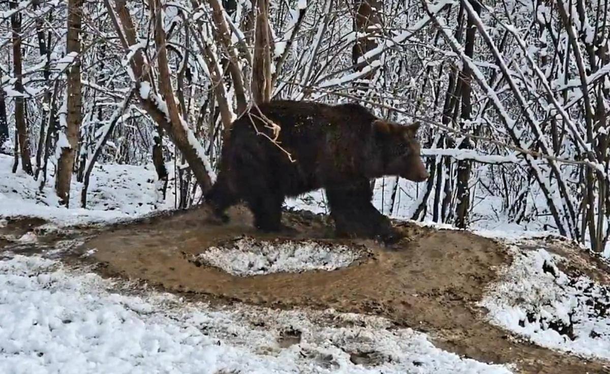 Il video dell'orsa Ina