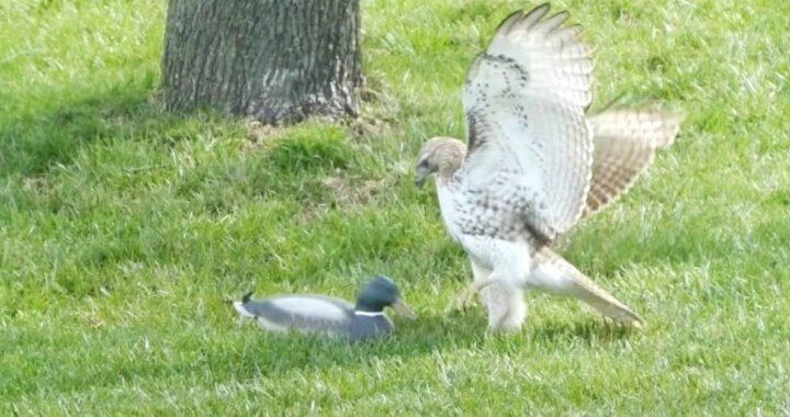 Un falco perplesso non riesce a capire come mai l'anatroccolo non sembra avere paura di lui (video)