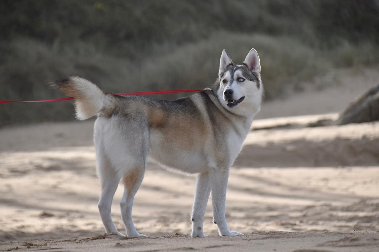 Husky arrabbiato con la sua proprietaria