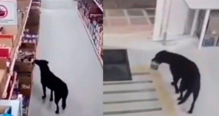 Cane educato si disinfetta le zampe